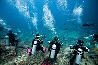 Divers observing shark feed, Beqa Lagoon, Fiji, Not Released