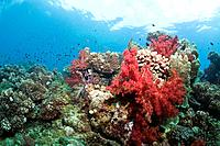 Bright colorful healthy reef system in Beqa, Fiji