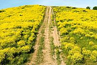 Hill covered with yellow flowers. Steep road