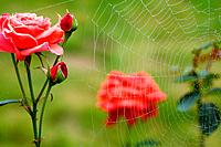 Dew on spiderweb and rose bush