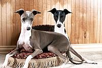 Pair of Italian greyhounds
