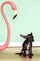 Chihuahua next to a pink flamingo