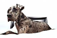 Great dane resting on a bed