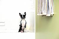 Boston terrier having a bath
