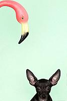 Chihuahua underneath a pink flamingo