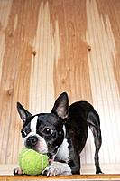 Boston terrier playing with a tennis ball