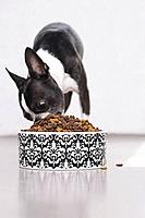 Boston terrier eating pet food