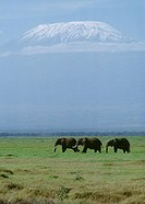 Africa, Tanzania, elephants walking with Mount Kilimanjaro background