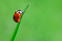 Seven_spot Ladybird Coccinella septempunctata on blade of grass, close up
