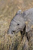 Elephant calf in grass
