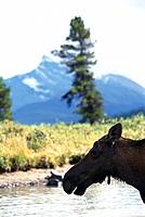 Elk, Rocky Mountains, Alberta, Canada