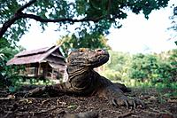 Close up of a Komodo lizard, Komodo Dragon, varanus komodoensis, Komodo, Indonesia, Asia