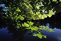 Chestnut leaves along the lakeshore, Park, Mittweida, Saxony, Germany
