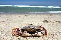 A crab on Nauset Beach, Orleans, Cape Cod, Massachusetts, USA