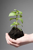 Person holding soil and a sapling (thumbnail)