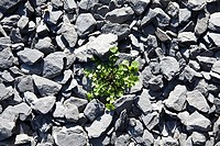 Weed growing through stones