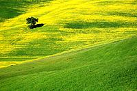 Rape, Oak tree, hill countryside, agricultural landscape, Tuscany, Italy