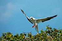 Red-footed Booby Sula sula white phase  Halfmoon Caye Audubon Sanctuary, Belize