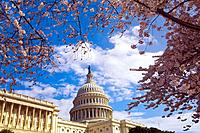 Cherry blossoms, U  S  Capitol, Washington D C , U S A