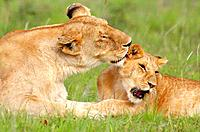 Lioness grooming her cub on the plains of the Masai Mara, Kenya