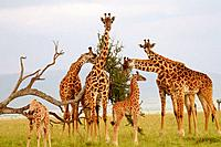 A Masaii giraffe herd eating on the plains of the Masaii Mara, Kenya