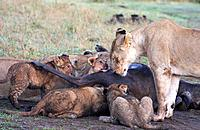 Lioness and cubs on a kill in Amboseli, Kenya