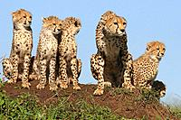 Mother cheetah and 5 cubs on a termite mound in the Masai Mara, Kenya