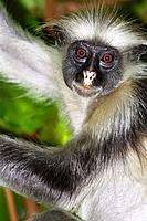 Zanzibar Red Colobus Monkey feeding in the Jozani Forest