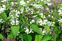 White Dead_nettle, Lamium album