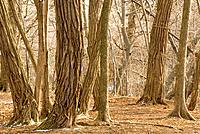 Trees in the Blythwood Ravine in park near Lawrence and Yonge, Toronto