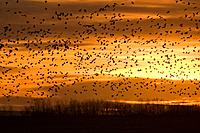 Snow goose flock takes flight, autumn, Saskatchewan, Canada