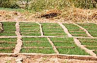Mali, Dogan Country, Bandiagara Escarpment, Onion field Date: 08 04 2008 Ref: ZB573_112045_0043 COMPULSORY CREDIT: World Pictures/Photoshot