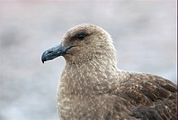 Side view of a brown sub Antarctic skua