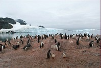 Gentoo penguin breeding colony