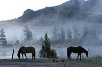 Horses grazing in fog covered field, Montana, USA