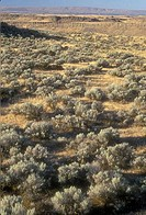 Sagebrush plants in a field, Frog Lake Trail, Columbia National Wildlife Refuge, Washington State, USA