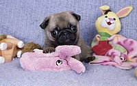 Pug playing with toys