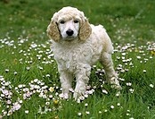 Standard poodle puppy standing in a park
