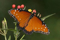 Queen butterfly Danaus gilippus pollinating a flower