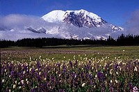 Flowers in a field with a snow covered mountain in the background, Mt Rainier, Mt Rainier National Park, Washington State, USA