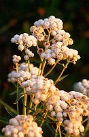 Close_up of Pearly Everlasting flowers, Mt St. Helens National Volcanic Monument, Washington State, USA