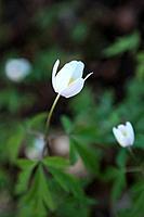 Wildwood windflowers