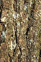 Bark from an alder