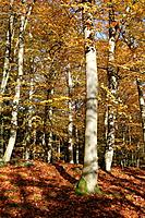 Beech wood in autumn