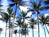 salvador palm trees planted in the beach green grass