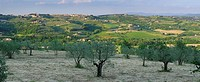 Panorama of Olive grove at sunset in the hills of Val di Pesa Chianti Italy