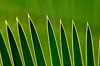 Palm leaves, close up