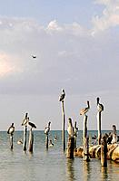 Mexico, Holbox Island, Pelicans sitting on wooden post in ocean