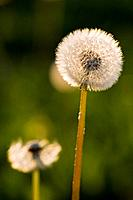 Germany, Bavaria, Dandelion head, close_up