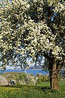 Germany, Lake Constance, Hoeri, blossoming season